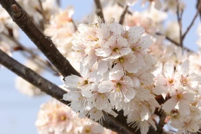 1度は花見したい静岡県内桜の名スポット20選 2016年