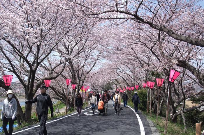 藤枝金比羅山の桜