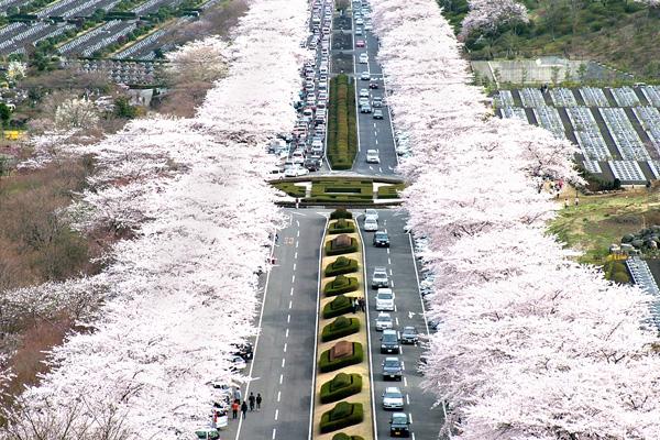 富士霊園の桜