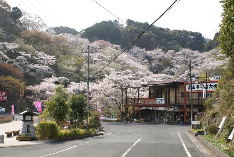 奥山公園の桜
