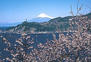 西伊豆黄金崎の桜