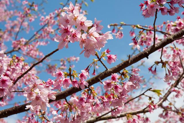 さくらの里 大寒桜