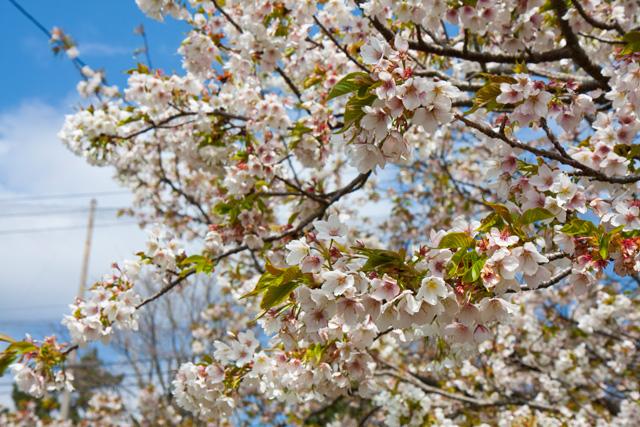 さくらの里 大島桜
