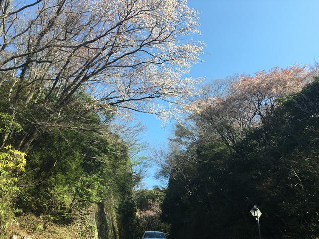 日本平パークウェイと桜