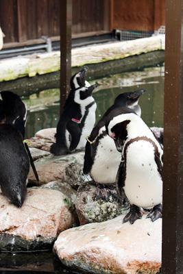 掛川花鳥園:ケープペンギン