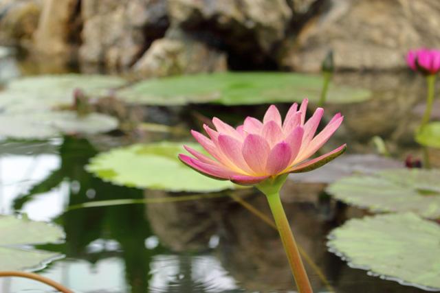 掛川花鳥園:スイレン