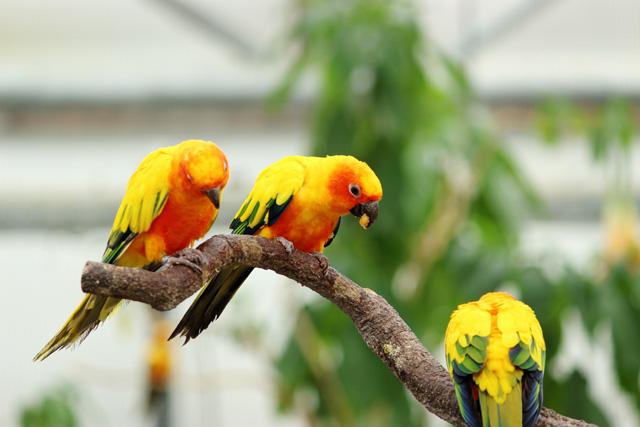 掛川花鳥園:コガネメキシコインコ