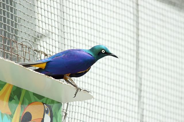 掛川花鳥園:キンムネオナガテリムク