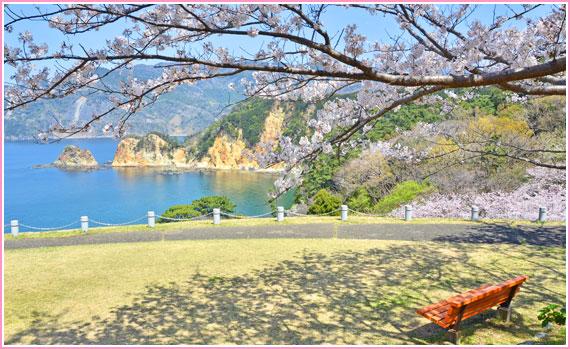 伊豆黄金崎の桜