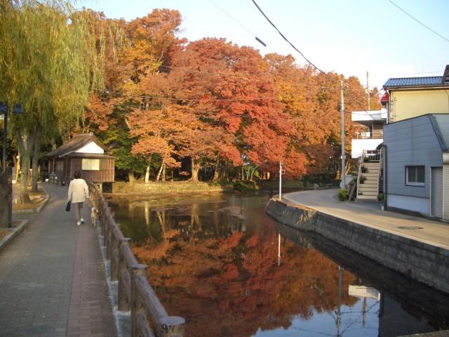 三島市:桜川沿いの紅葉