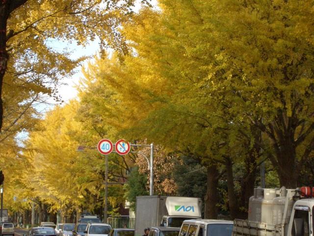 三島市:日大通りの紅葉