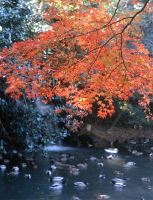 三島市:楽寿園の紅葉