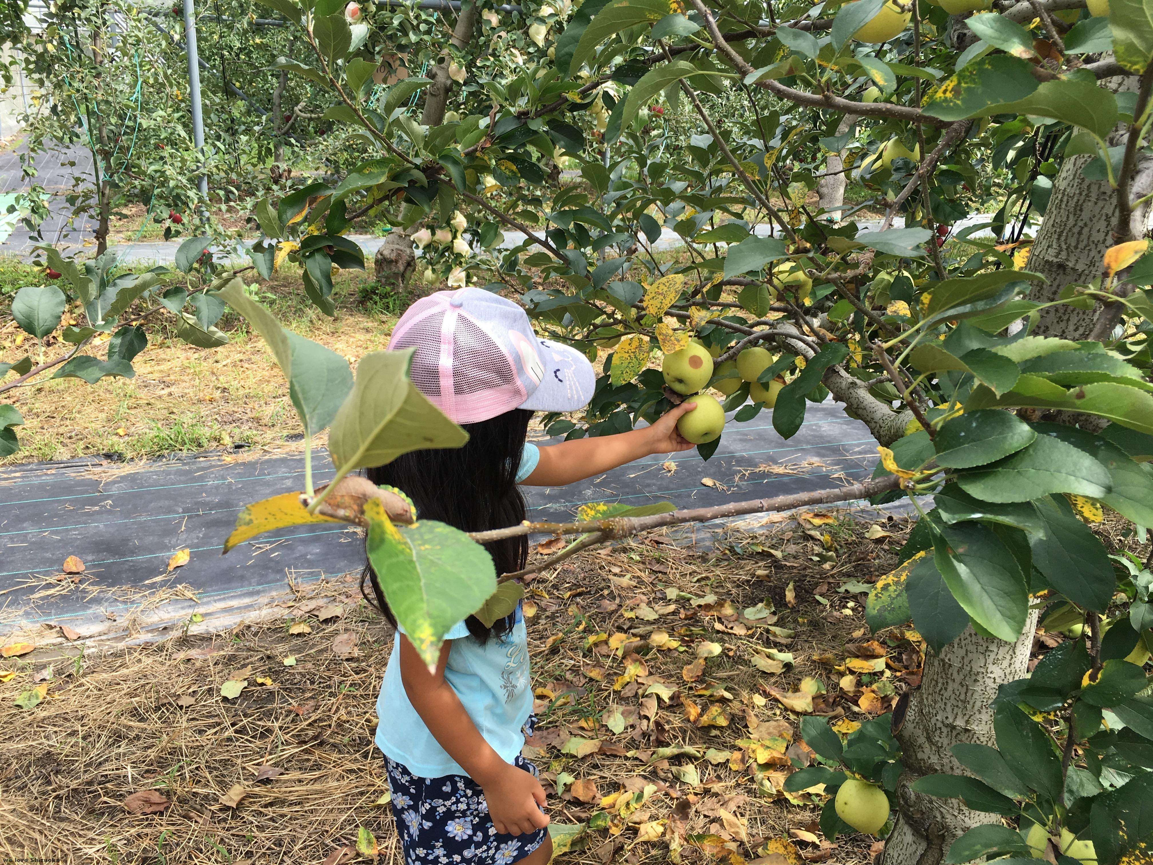 青りんごも収穫