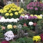 三島市立公園 楽寿園:菊まつり