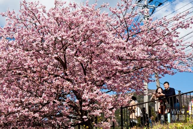 ほぼ満開の河津桜