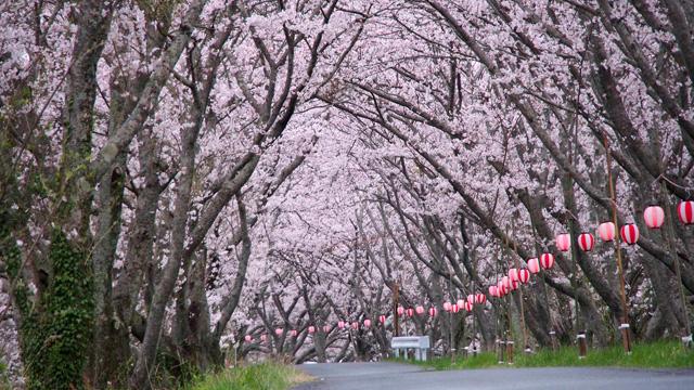 太田川桜堤の桜