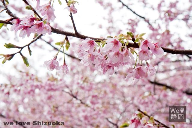 さくらの里:城ヶ崎桜