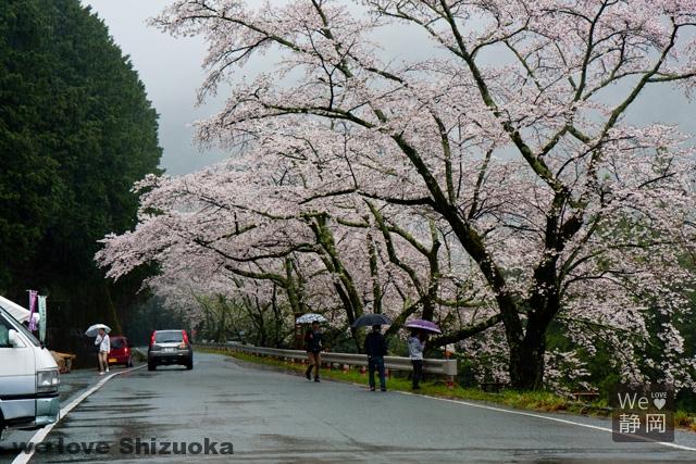 秋葉ダム1000本桜