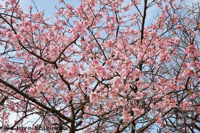 伊豆の桜名スポット