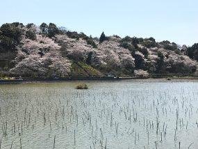 蓮華寺池公園のさくら