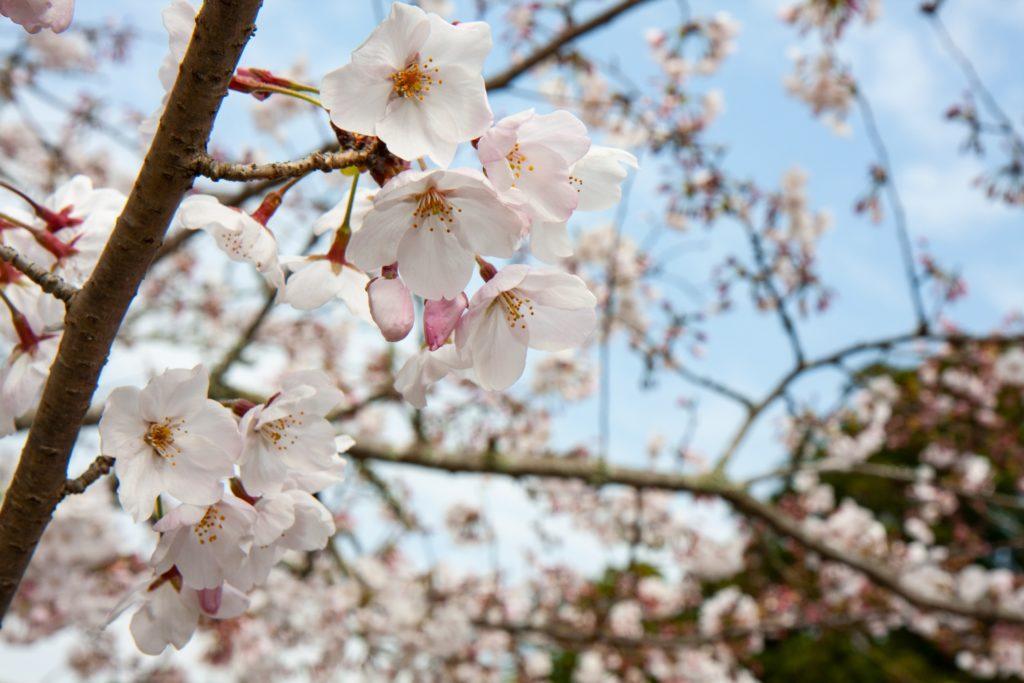 法多山(袋井市)の桜