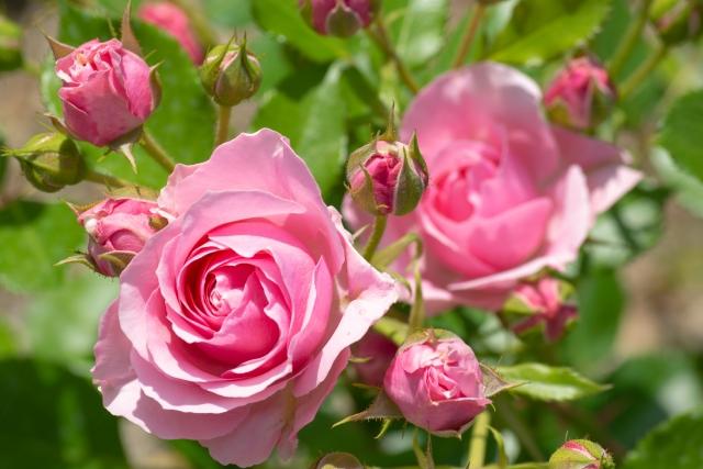 ばら,薔薇,バラ