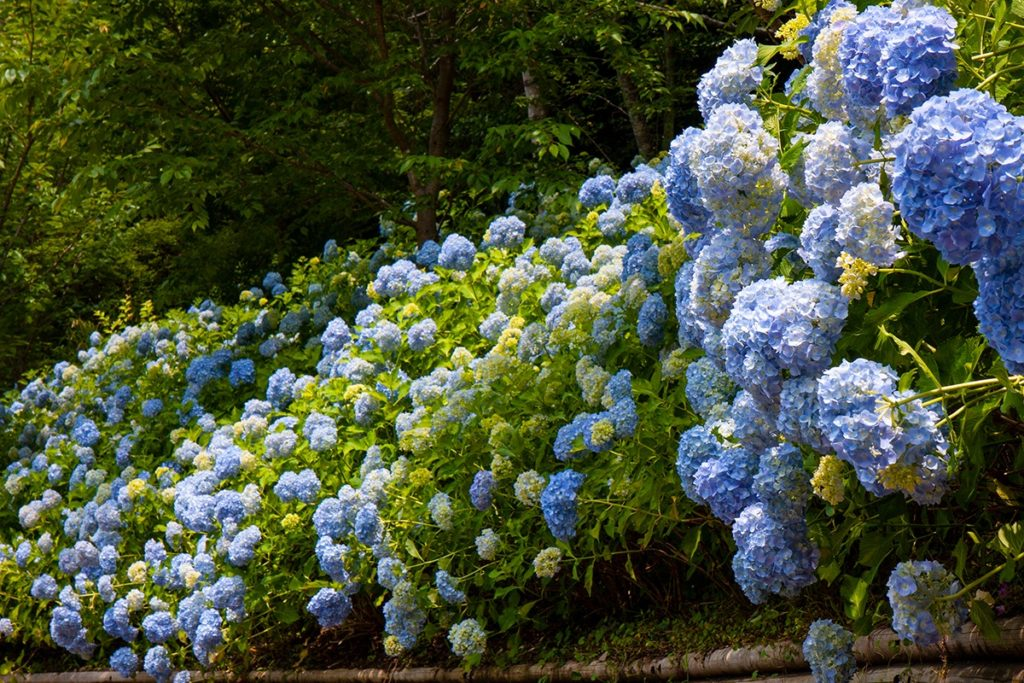 法多山の紫陽花(あじさい)