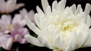 【伊豆市】修善寺温泉「菊飾り」