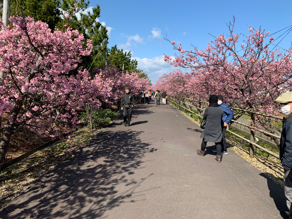 浜岡砂丘白砂公園の桜並木