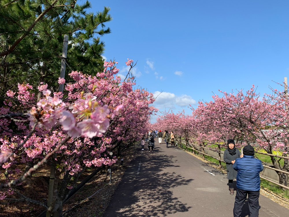 浜岡砂丘白砂公園の河津桜並木