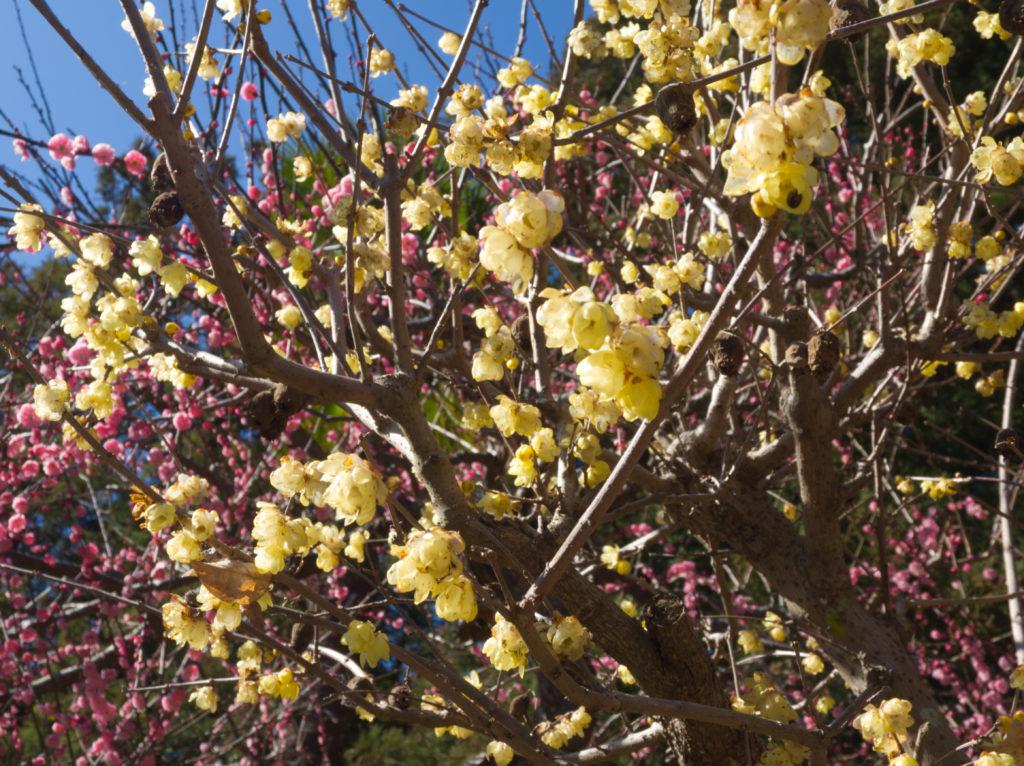 豊岡梅園の梅の花