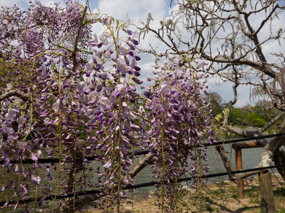 蓮花寺池公園の藤棚