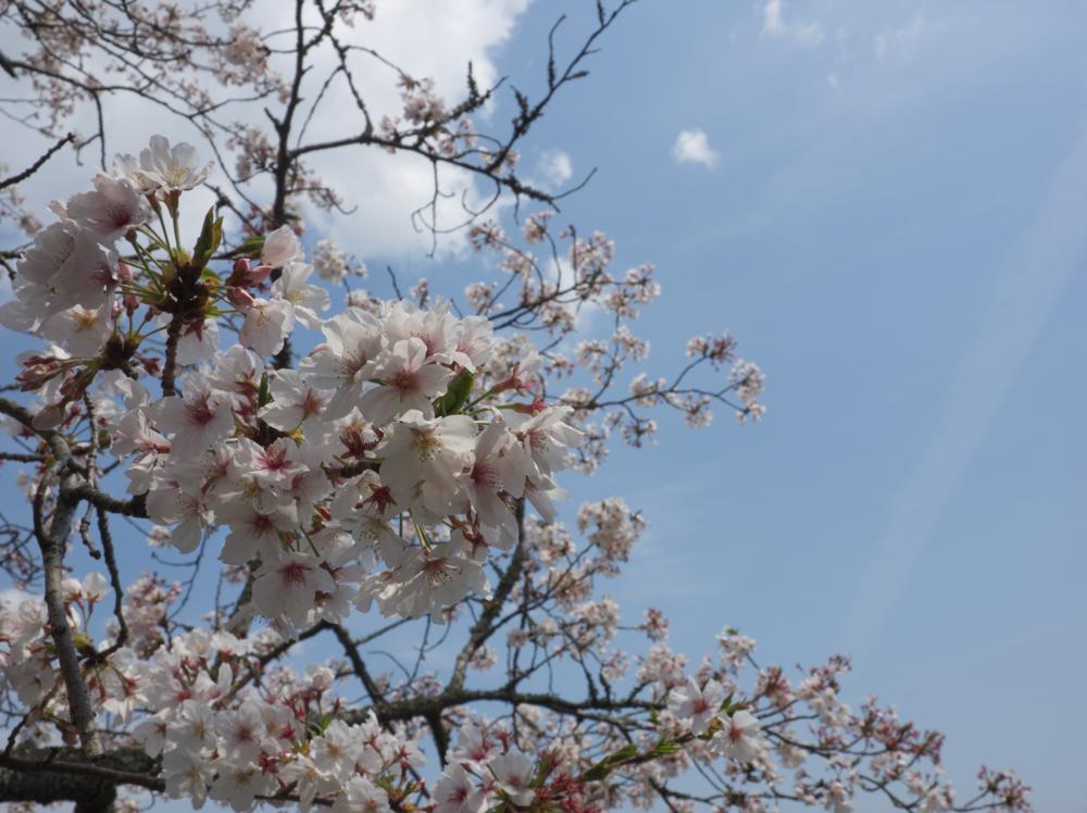 蓮花寺池公園の桜