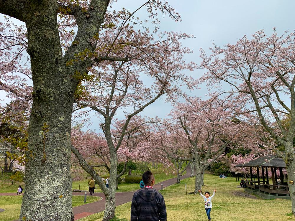 さくらの里:桜の開花状況