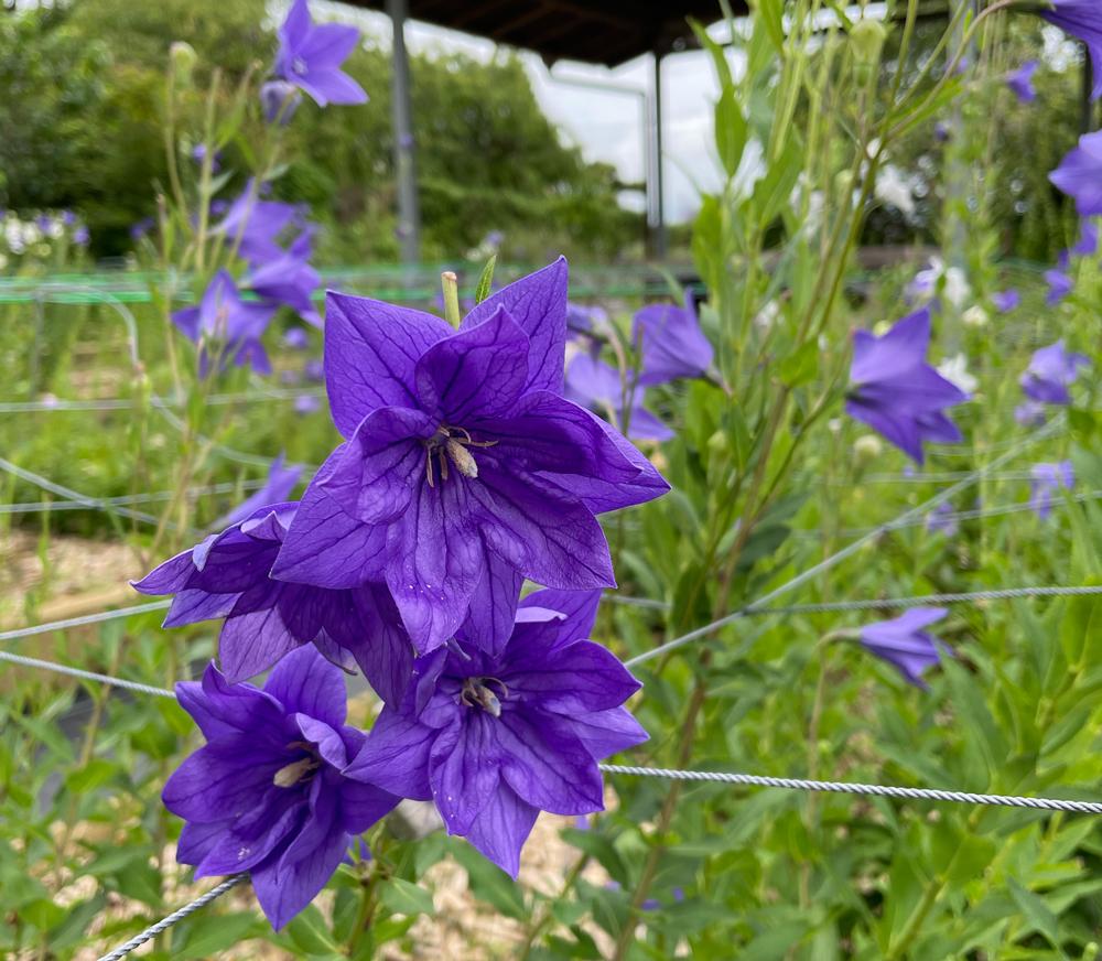 珍しい二重花びらの桔梗の花