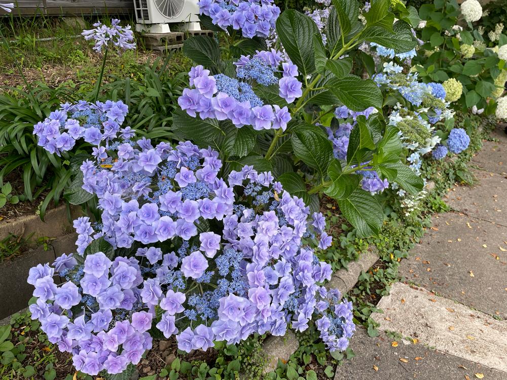 桔梗寺の紫陽花