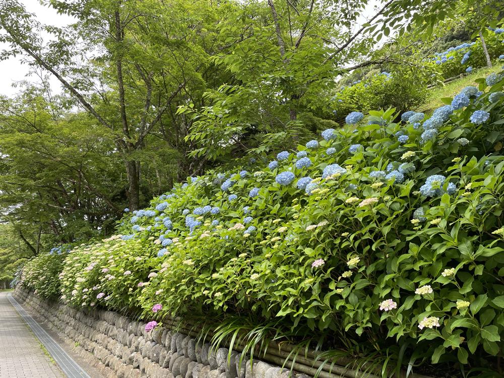 法多山の紫陽花:袋井市観光スポット